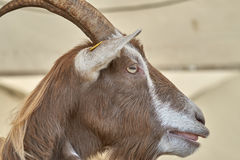 Goat in the farm Stock Images