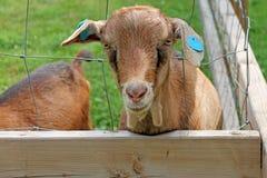 Goat at farm Stock Photography