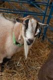 Goat at Farm Fair Stock Images
