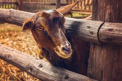 Goat at the farm Stock Photo