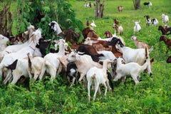Goat farm Stock Images