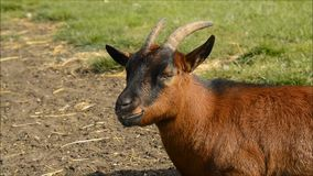 Goat on farm happily chewing his dinner stock video