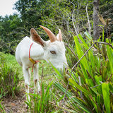 Goat in farm. Healthy goat in farm from central of Thailand Royalty Free Stock Photography