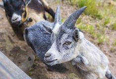 Goat on a farm in Italy Stock Photo