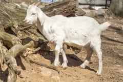 Goat Farm Stock Photos