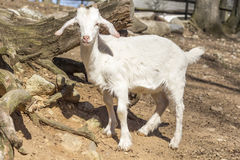 Goat Farm Stock Images