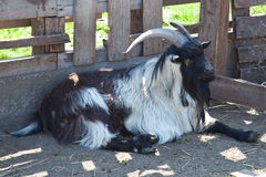 Goat farm Royalty Free Stock Photography