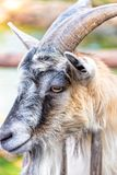 Goat on a farm Stock Image