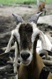 Goat farm. Goat lives on a farm field in Thailand Stock Photos