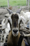 Goat farm. Goat lives on a farm field in Thailand Royalty Free Stock Image