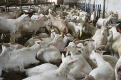 Goat farm stock photography