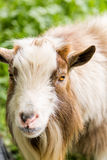 Goat farm Stock Photos