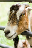 Goat farm Royalty Free Stock Images