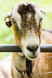 Goat farm Stock Photography
