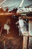 Goats in a farm Stock Photos