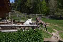 Goat in a farm in the mountains of southtyrol italy. rural life Stock Photography