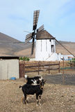 Goat farm with old windmill Royalty Free Stock Images