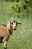 Goat in farm pasture Stock Image