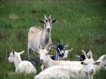 Goat farm Royalty Free Stock Photos