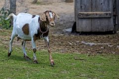 Goat on the farm Royalty Free Stock Photography