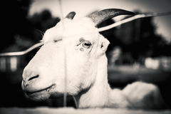 Goat. The goat on the farm is sad royalty free stock image