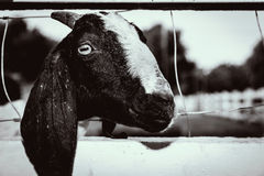 Goat. The goat on the farm is sad stock image