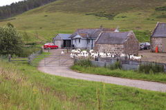 Goat farm in scotland Stock Photography