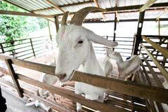 Penang Saanen Dairy Goat Farm. The Goat Farm is situated at a 5 acres land in Permatang Pasir, Balik Pulau, Penang. The dairy goats are imported from Australia royalty free stock photography