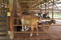 Goat farm Stock Photo