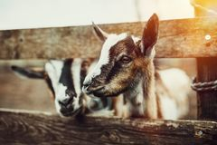 Cute Baby Goats Royalty Free Stock Photo