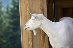 Goat on the Farm Stock Images