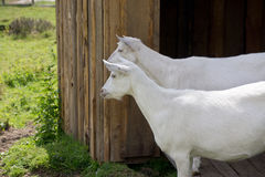 Goat on the Farm Stock Photo