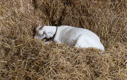 Goat in the farm Stock Photos