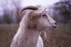 Goat on the farm.White goat, head of a goat. White goat royalty free stock photos