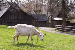 Goat at farm Royalty Free Stock Photography