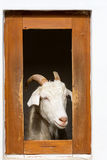 Goat in farm window Royalty Free Stock Images