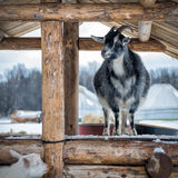Goat on a farm in winter Royalty Free Stock Photography