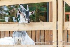 Goat on farm Royalty Free Stock Image
