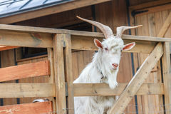 Goat on farm Stock Images