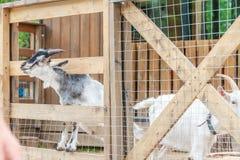 Goat on farm Royalty Free Stock Photos