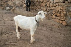 Goat in a farm yard. Goat with bell neck in a farm yard Stock Images