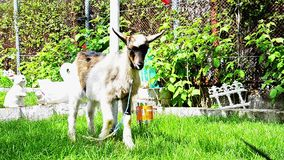 Goat on a farm Royalty Free Stock Image