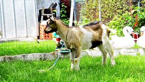 Goat in the farm Royalty Free Stock Images