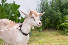 Goat at farm Royalty Free Stock Photo