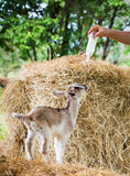 Goat in farm. Young goat in farm standing and looking at milk bootle Stock Photos