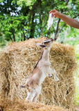 Goat in farm. Young goat in farm standing and looking at milk bootle Stock Photography