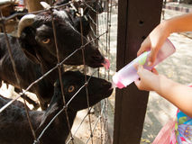 Goat farmer bottle feeds milk to a baby goat by hand Stock Photos