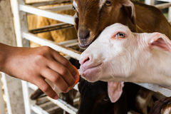 Goat farmer bottle feeds milk to a baby goat. Royalty Free Stock Images