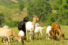 Goat farmland Stock Photo