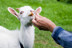 Goat feeding Royalty Free Stock Images